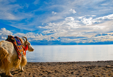 Namtso Lake and a yak form a surrealistic picture.