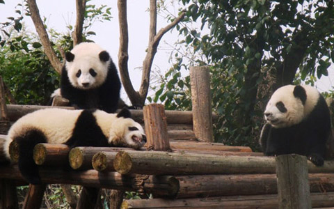 8 Days Panda Base with Mt. Emei & Lhasa